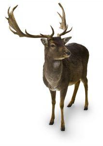 1138596_deer